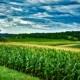 Sweet Corn Field Wisconsin Midwest