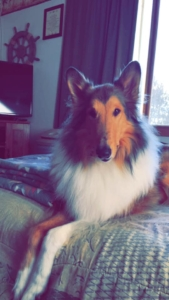 Lassie the Dog Vote for your favorite pet
